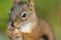 Red Squirrel Close-up Stock Photos