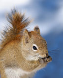 Red Squirrel close up Stock Image