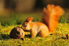 Red squirrel with coconut. On green grass stock images
