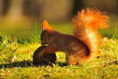 Red squirrel with coconut Royalty Free Stock Photography