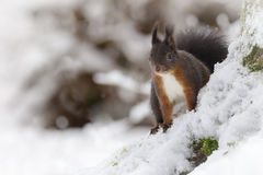 Red squirrel with cold feet. A red squirrel watches from the base of a snow covered tree Stock Photos