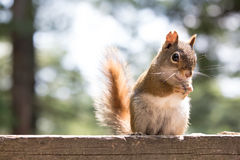 Red squirrel on a cottage deck Royalty Free Stock Photos