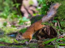 Red Squirrel frozen on a mossy snag near a water pond in wood stock image