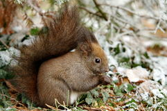 Red squirrel in the park. Cute red squirrel while eating a nut in the park Stock Photos