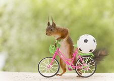 Red squirrel with an cycle and a football. Red squirrel with an cycle and an football Stock Photo