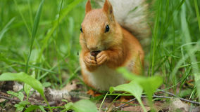Red squirrel deftly gnaws nuts in the park. Red squirrel in the Park chewing on some nuts Royalty Free Stock Image