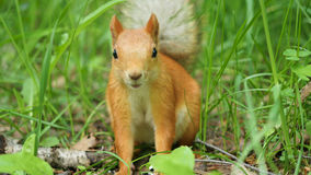 Red squirrel deftly gnaws nuts in the park. Red squirrel in the Park chewing on some nuts Stock Photo