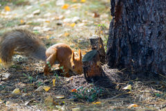 Red squirrel digs burying nuts in the forest. Cute red squirrel burying nuts in the forest royalty free stock photo
