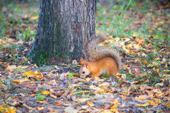 Red squirrel digs burying nuts in the forest. Cute red squirrel burying nuts in the forest royalty free stock photography