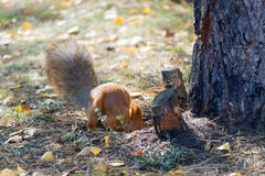 Red squirrel digs burying nuts in the forest. stock photography