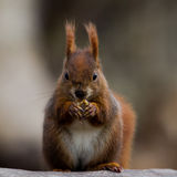 Red Squirrel. Squirrel with dirty nose eating a nut Stock Photos