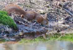 Red squirrel. A red squirrel drinking some water in the forest stock image