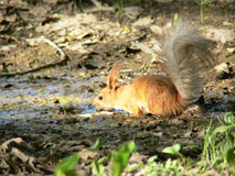 Red squirrel drinking water Royalty Free Stock Photos