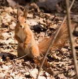 Red squirrel. On the dry leaves in the park royalty free stock images