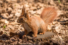 Red squirrel. On the dry leaves in the park stock photography
