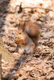 Red squirrel. On the dry leaves in the park eating a nut stock photos
