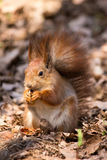 Red squirrel. On the dry leaves in the park eating a nut stock image