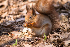 Red squirrel. On the dry leaves in the park eating a nut stock images