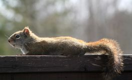 Red Squirrel. In early Spring, on a railing in the Eastern Townships, Quebec, Canada Royalty Free Stock Photography
