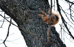 Red squirrel eat the nut on a tree without leaves. Squirrel sits on a branch of tree and gnaws nut on the sky background. Red squirrel eat the nut on a tree Stock Image