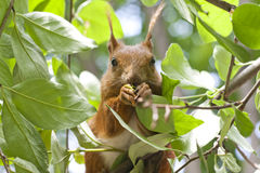 Red squirrel eat on the tree Royalty Free Stock Photography