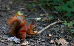 Red squirrel eat walnut Royalty Free Stock Photography