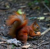 Red squirrel eat walnut Stock Photography