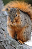 Red squirrel eating Royalty Free Stock Images
