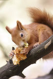 Red squirrel is eating Stock Images