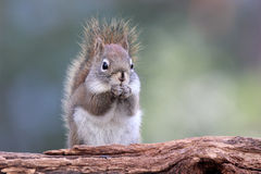 Red Squirrel Eating Royalty Free Stock Photo