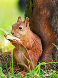 Red squirrel. Stock Photos