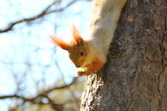 Red squirrel eating apple Royalty Free Stock Photography