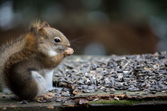 Red squirrel eating bird seed on a cottage deck Stock Photos