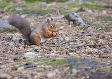 Red Squirrel Eating. A Red Squirrel eating during a day of foraging for food to store for the winter stock photo