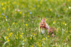 Red squirrel eating. Eurasian red squirrel eating maple seed pods Royalty Free Stock Image
