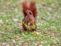 Red squirrel eating flowers from a tree branch royalty free stock photo
