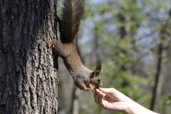 Red squirrel eating food from human hand Stock Photo