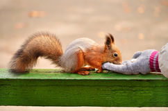 Red squirrel eating in the hand Royalty Free Stock Photos
