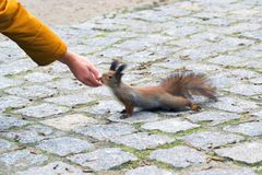 Red squirrel eating in the hand Royalty Free Stock Photography