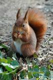 Red squirrel eating a hazelnut. Red squirrel of face eating a hazelnut on the ground with of ivy Royalty Free Stock Photo