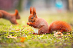 Red squirrel eating hazelnut Stock Image