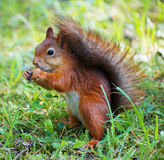Red squirrel. Stock Image