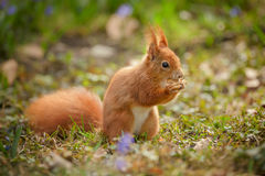Red squirrel eating his acorn Royalty Free Stock Photo