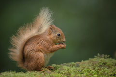Red Squirrel eating. Royalty Free Stock Images