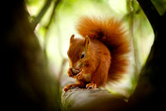 Red squirrel eating a nut. A Red squirrel eating a nut in a tree Royalty Free Stock Photo