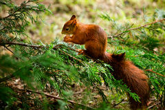 Red squirrel eating a nut. A Red squirrel eating a nut in a tree Stock Photos