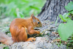 Red Squirrel Eating a Nut Royalty Free Stock Image