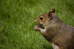 Red squirrel eating nut. Side portrait of red squirrel eating nut with green grass background Royalty Free Stock Photography