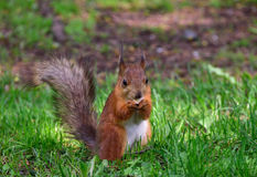 Red squirrel eating a nut on the grass. Cute red squirrel eating a nut on the grass Stock Image