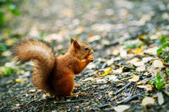 Red squirrel eating nut on the ground among fallen leaves Stock Images